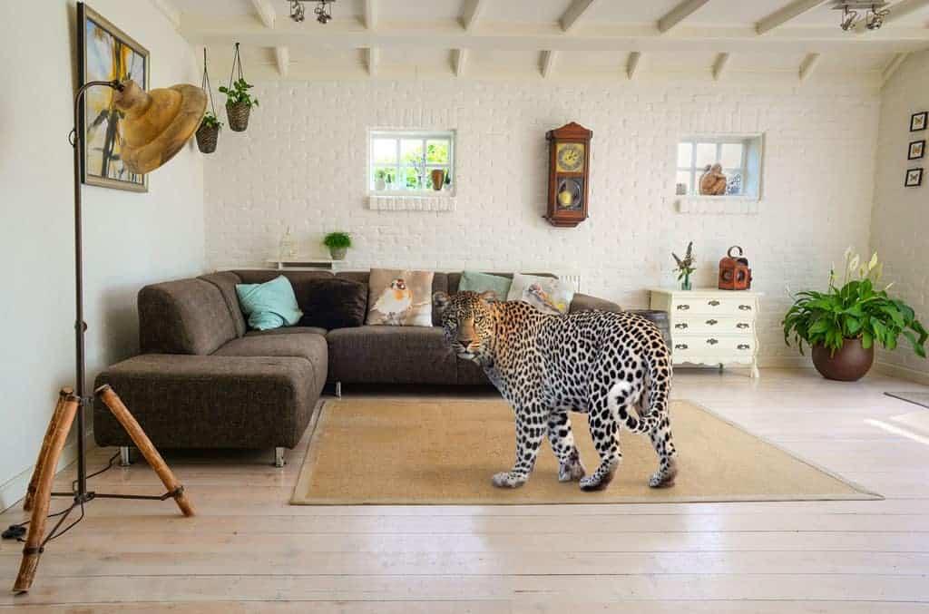 Szoba leopárddal